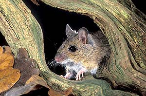 Miscfieldmouse