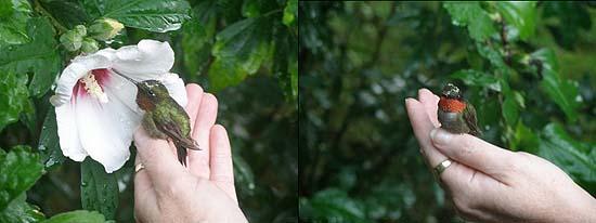 Mischummingbird